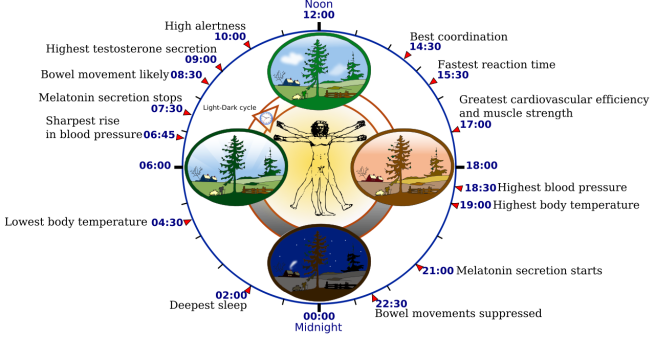 1280px-biological_clock_human-svg