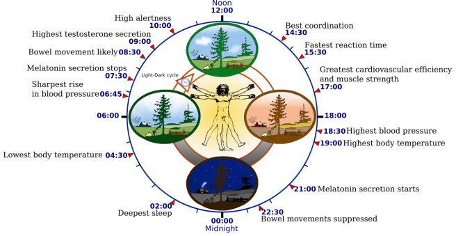 1280px-biological_clock_human-svg