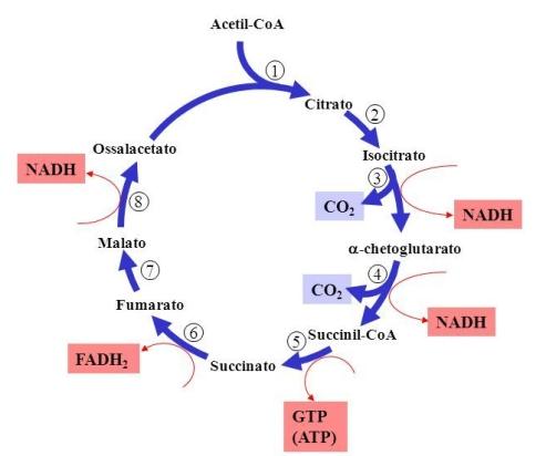 Reazioni+del+ciclo+acido+citrico