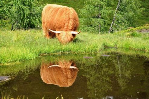 mucca-acqua